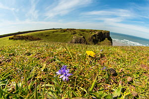 Spring squill (Scilla verna) growing at Worm's Head, Pembrokeshire, Wales, UK, May.  -  Steve Nicholls