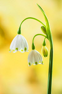 Summer snowflake (Leucojum aestivum), restricted to the Thames Valley. Withymead, near Goring, Oxfordshire, England, UK, April.  -  Steve Nicholls