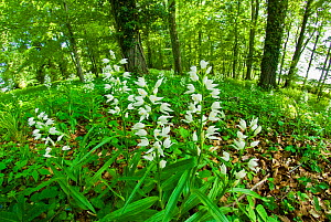 Sword-leaved helleborine (Cephalanthera longifolia) at Chappett's Copse, Hampshire, England, UK, May.  -  Steve Nicholls