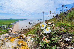 White rock-rose (Helianthemum apenninum) a rare plant of a few coastal locations in Devon and Somerset, growing here on Brean Down near Weston, Avon, England, UK, June.  -  Steve Nicholls