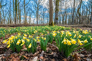 Wild daffodil (Narcissus pseudonarcissus) Lower Woods, Gloucestershire, England, UK, March.  -  Steve Nicholls