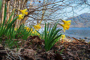 Wild daffodil (Narcissus pseudonarcissus) Bay, Ullswater, Lake District, England, UK, March.  -  Steve Nicholls