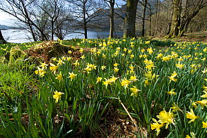 Wild daffodil (Narcissus pseudonarcissus) at Glencoyne Bay, Ullswater, Lake District, England, UK.  -  Steve Nicholls