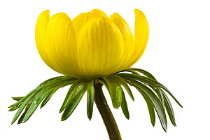 Winter aconite (Eranthis hyemalis) close up with white background.  -  Steve Nicholls