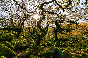 Wistmans Wood, forest of Pedunculate oaks (Quercus robur) on Dartmoor in Devon, England, UK, November.  -  Steve Nicholls