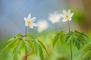 Wood anemone (Anemone nemorosa) Lower Woods, Gloucestershire, England, UK, April.  -  Steve Nicholls