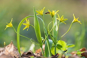 Yellow star of Bethlehem (Gagea lutea) in woodlands of th Schonbrunn Palace in Vienna, Austria, March.  -  Steve Nicholls