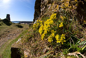 Yellow whitlow grass (Draba aizoides) growing at Pennard Castle, South Wales, UK. March. In Britain into only occurs on the cliffs around the Gower Peninsula.  -  Steve Nicholls