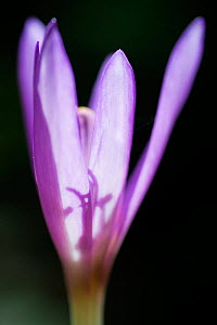 Autumn crocus or meadow saffron (Colchicum autumnalis) in Lower Woods, Gloucestershire, England, UK, September.  -  Steve Nicholls