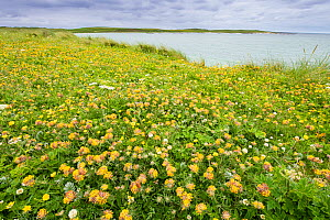Kidney vetch (Anthyllis vulneraria) flowering on machair grassland at Balranald RSPB reserve, North Uist, Outer Hebrides, Scotland, UK, July.  -  Steve Nicholls