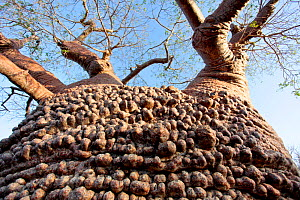 'Grandmother' Baobab Tree (Adansonia rubrostipa), Lac Tsimanampetsotsa National Park, Madagascar.  -  Lorraine Bennery