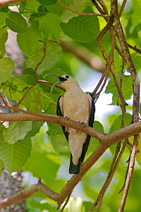 Sickle-billed Vanga (Falculea palliata) Ankarafantsika National Park, Madagascar.  -  Lorraine Bennery