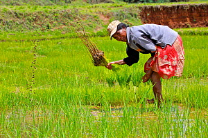 Woman working in the rice fields, Madagascar.  -  Lorraine Bennery