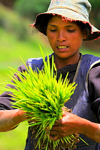 Worker in the rice fields, Madagascar.  -  Lorraine Bennery