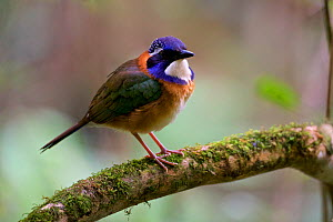 Pitta-like ground roller (Atelornis pittoides) Anjozorobe Special Reserve, Madagascar  -  Lorraine Bennery