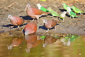 Madagascar turtle dove (Nesoenas picturatus) and Grey-headed lovebird (Agapornis canus) drinking at waterhole, Kirindy forest Private reserve, Madagascar.  -  Lorraine Bennery