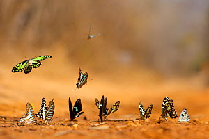 Group of butterflies puddling, Kirindy forest Private reserve, Madagascar.  -  Lorraine Bennery