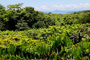 Ylang-Ylang crops (the flower of flowers), Nosy Be Island, Madagascar.  -  Lorraine Bennery