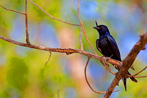 Crested drongo (Dicrurus forficatus) perched on branch, Madagascar.  -  Lorraine Bennery