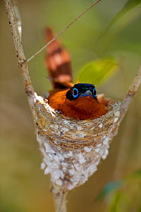 Malagasy Paradise Flycatcher (Terpsiphone mutata)  Kirindy forest Private reserve, Madagascar.  -  Lorraine Bennery