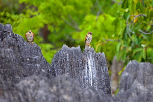 Malagasy kestrel (Falco newtoni) perched on jagged rock formations. Tsingy Bemaraha National Park, Madagascar.  -  Lorraine Bennery