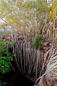 Roots of Banyan tree (Ficus benghalensis) descending into limestone sink-hole, Tsimanampetsotsa National Park, Madagascar.  -  Lorraine Bennery