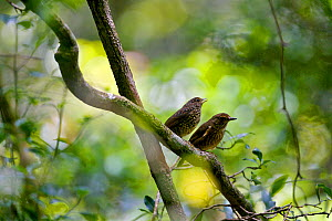 Forest rock thrush (Monticola sharpei) female (right) and young asking for food. Adults starve their offspring to force them to become independent in seeking their own food. Andringitra National Park,...  -  Lorraine Bennery