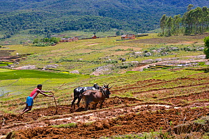 Man ploughing rice field with cattle, Madagascar.  -  Lorraine Bennery