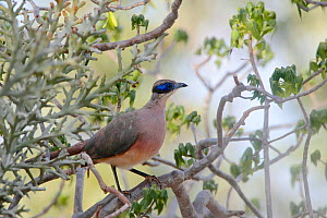 Red-capped coucal (Coua ruficeps olivaceiceps) perched in scrubland, Tsimanampetsotsa National Park, Madagascar.  -  Lorraine Bennery