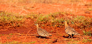 Pair of Madagascan sandgrouse (Perocles personatus), endemic to Madagascar.  -  Lorraine Bennery
