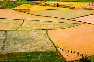 Aerial view of farmers transplanting rice, Madagascar.  December 2011.  -  Lorraine Bennery