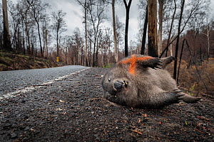 Common / coarse-haired wombat (Vombatus ursinus) laying dead on the edge of Bonang Road, the victim of a car strike. An orange cross has been spray painted on its body to show others it has already be...  -  Doug Gimesy