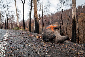Common / coarse-haired wombat (Vombatus ursinus) lying dead on the edge of Bonang Road, the victim of a car strike. An orange cross has been spray painted on its body to show others it has already bee...  -  Doug Gimesy