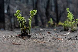 Ferns growing through ash of burnt forest after 2019/20 bushfires devastated the area. Martins Creek Scenic Reserve Nurran, Victoria, Australia. February 2020. Non-ex.  -  Doug Gimesy