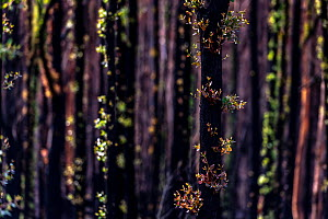 Eucalyptus trees (Eucalyptus sp.) showing epicormic growth in response to bushfire damage / stress. Eucalyptus trees are some of the most successful resprouters in the world, with extensive epicormic...  -  Doug Gimesy