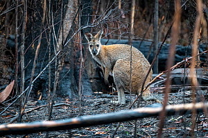 Red-necked / Bennett's wallaby (Macropus rufogriseus) in forest that was burnt during the 2019/2020 bushfires. Nurran, Victoria, Australia. February 2020.  -  Doug Gimesy