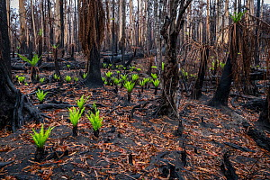 Hard tree ferns (Blechnum sp.) sprouting in burnt forest after 2019/20 bushfires devastated the area. Damaged Eucalyptus trees and soft tree ferns in the background. ?Martins Creek Scenic Reserve, Nur... - Doug Gimesy