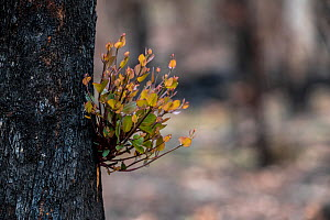 Red box tree (Eucalyptus polyanthemos) showing epicormic growth in response to bushfire damage / stress. Eucalyptus trees are some of the most successful resprouters in the world, with extensive epico...  -  Doug Gimesy