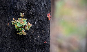 Eucalyptus tree (Eucalyptus sp.) showing epicormic growth in response to bushfire damage / stress. Eucalyptus trees are some of the most successful resprouters in the world, with extensive epicormic b...  -  Doug Gimesy