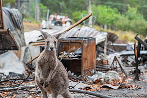 Eastern grey kangaroo (Macropus giganteus) on the burnt grounds of Wallabia Wildlife Shelter. The shelter was destroyed during the 2019/20 bushfires. This male kangaroo (called 'Link') was one... - Doug Gimesy