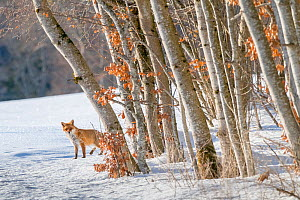Red fox (Vulpes vulpes) at edge of woodland in winter snow, Jura, Switzerland  -  Laurent Geslin