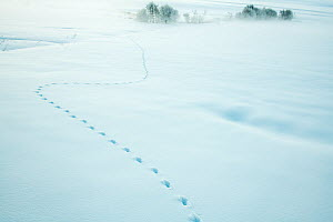 Red fox (Vulpes vulpes) tracks in fresh snow, Jura, Switzerland  -  Laurent Geslin
