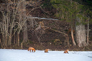 Red foxes (Vulpes vulpes) during the mating season, a female on heat attracts two males, Switzerland  -  Laurent Geslin