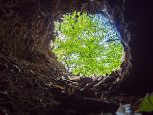 View looking out from a hollow tree, typical site for a red fox den.  -  Laurent Geslin