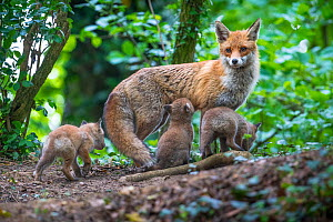Red fox (Vulpes vulpes) vixen on the alert, with cubs and one suckling, Switzerland  -  Laurent Geslin