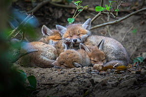 Red fox (Vulpes vulpes) cubs sleeping curled up together, Switzerland  -  Laurent Geslin