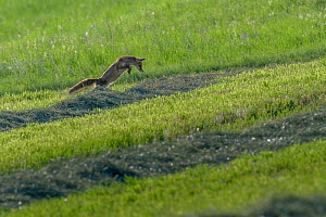 Red fox (Vulpes vulpes) hunting, pouncing on rodent, June, Switzerland. Sequence 1 of 3  -  Laurent Geslin