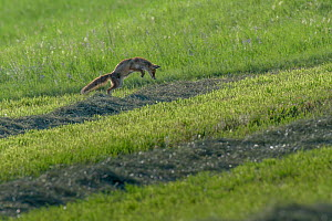 Red fox (Vulpes vulpes) hunting, pouncing on rodent, June, Switzerland. Sequence 2 of 3  -  Laurent Geslin