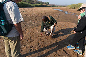 Game ranger looking at animal tracks, Hluluwe-Imfolosi Park, Kwazulu Natal, South Africa  -  Rhonda Klevansky