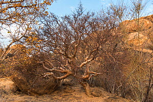 Blue-leaved corkwood (Commiphora glaucescens), Erongo Mountains, Namibia  -  Rhonda Klevansky